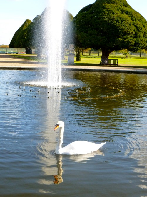 Swanpic1
