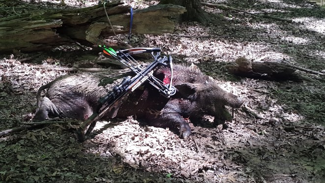 Covert Crossbow vs. Tough Wild Hog [VIDEO]