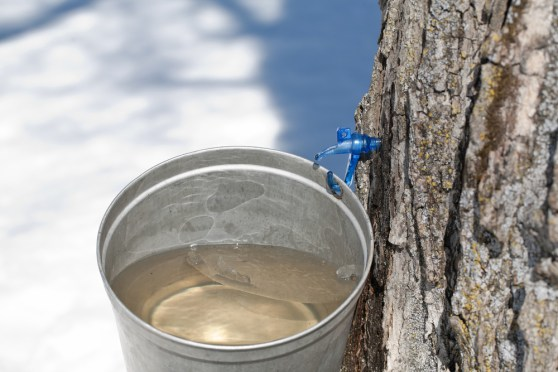 Collecting Black Walnut Sap: The New Maple Syrup?