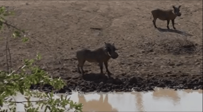 Warthog with Crosssbow [Slow-Motion Video]