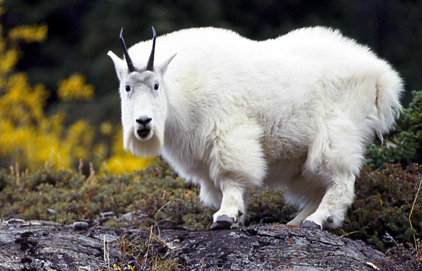 Goat-Wallpaper-On-Desktop