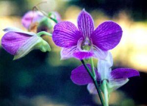 Wild Orchid Sap