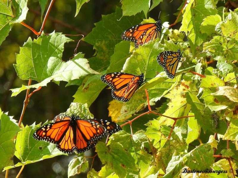 Esta foto tomada el miércoles 25 de octubre del 2017 proporcionada por Darlene Burgess muestra a mariposas monarca en el Parque Nacional Point Pelee en Canadá. (Darlene Burgess via AP) Photo: Darlene Burgess, AP / Darlene Burgess