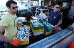 izvoz-ribe-midi