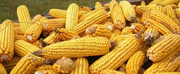 kukuruz-urod-large
