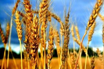 poljoprivredni-proizvodi-zitarice-midi