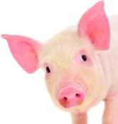 svinjsko-meso-ilustracija-midi