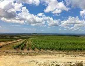 vinograd-korlat-midi
