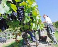 vinograd-radnici-midi