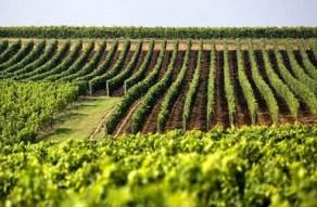 vinogradi-midi