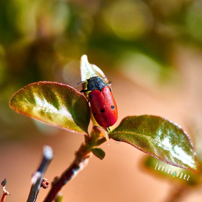2020 A ladybug on my balcony- Palma - Mallorca (Spain)