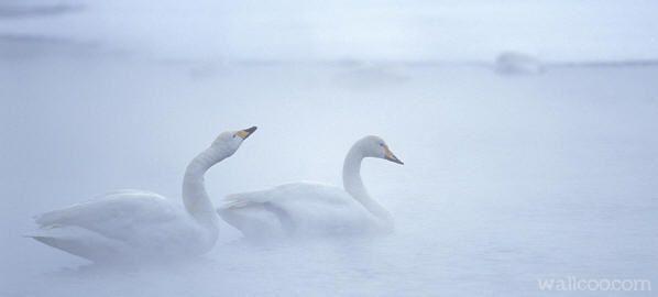 立冬. invierno en Japón. Foto de cisnes del ártico
