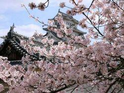 Japón en primavera. Los cerezos en flor.