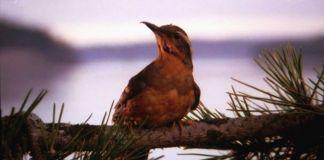 Pájaro de la intro de Twin Peaks