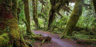 Hoh Rain Forest (Olympic National Park, Washington)
