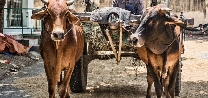 Oxen with driver in the Ninh Thuan district of Viet Nam.