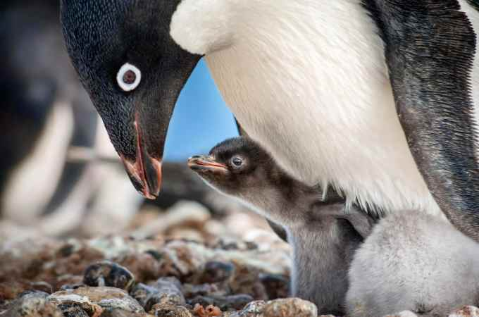 """Disneynature """"Penguins"""". Disneynature's all-new feature film """"Penguins"""" is a coming-of-age story aboutanAdélie penguinnamed Steve who joins millions of fellowmalesin the icy Antarcticspringon a quest to build a suitable nest, find a life partner and start a family."""