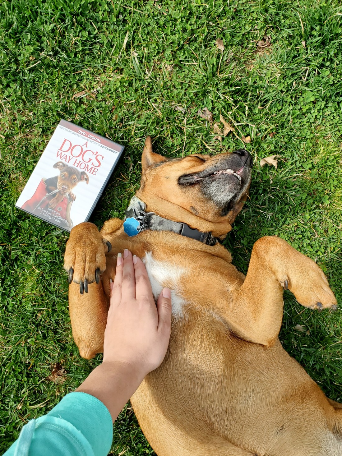 A Dog's Way Home DVD Release Beau. A Dog's Way Home Film is now available on DVD and Digital everywhere. This touching film shares Bella's heartwarming adventure as she embarks on an epic 400-mile journey back home.