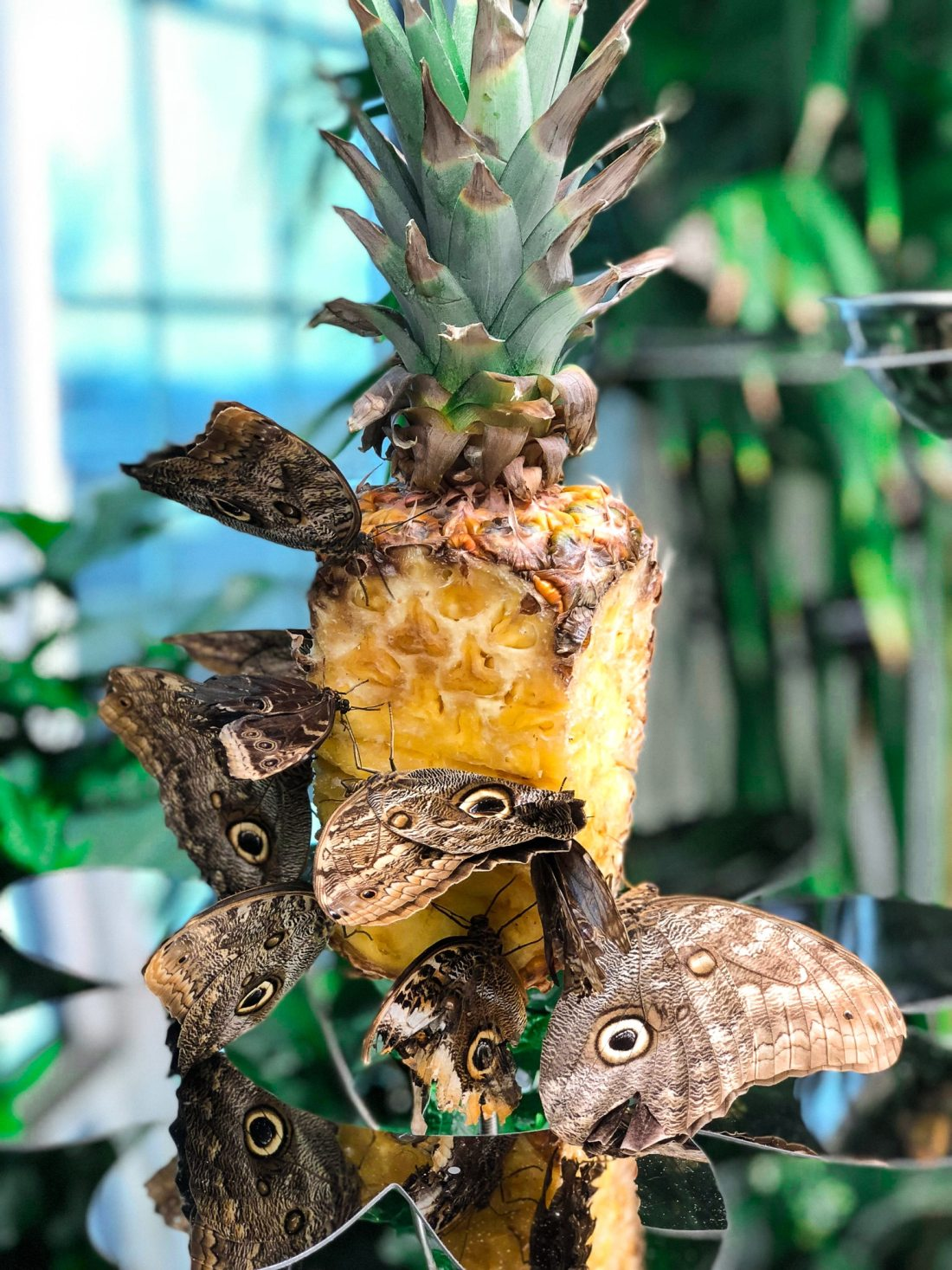 Hershey PA Butterflies Pineapple. Visit the Hershey Gardens to see real life butterflies! Play with butterflies and take amazing photos.