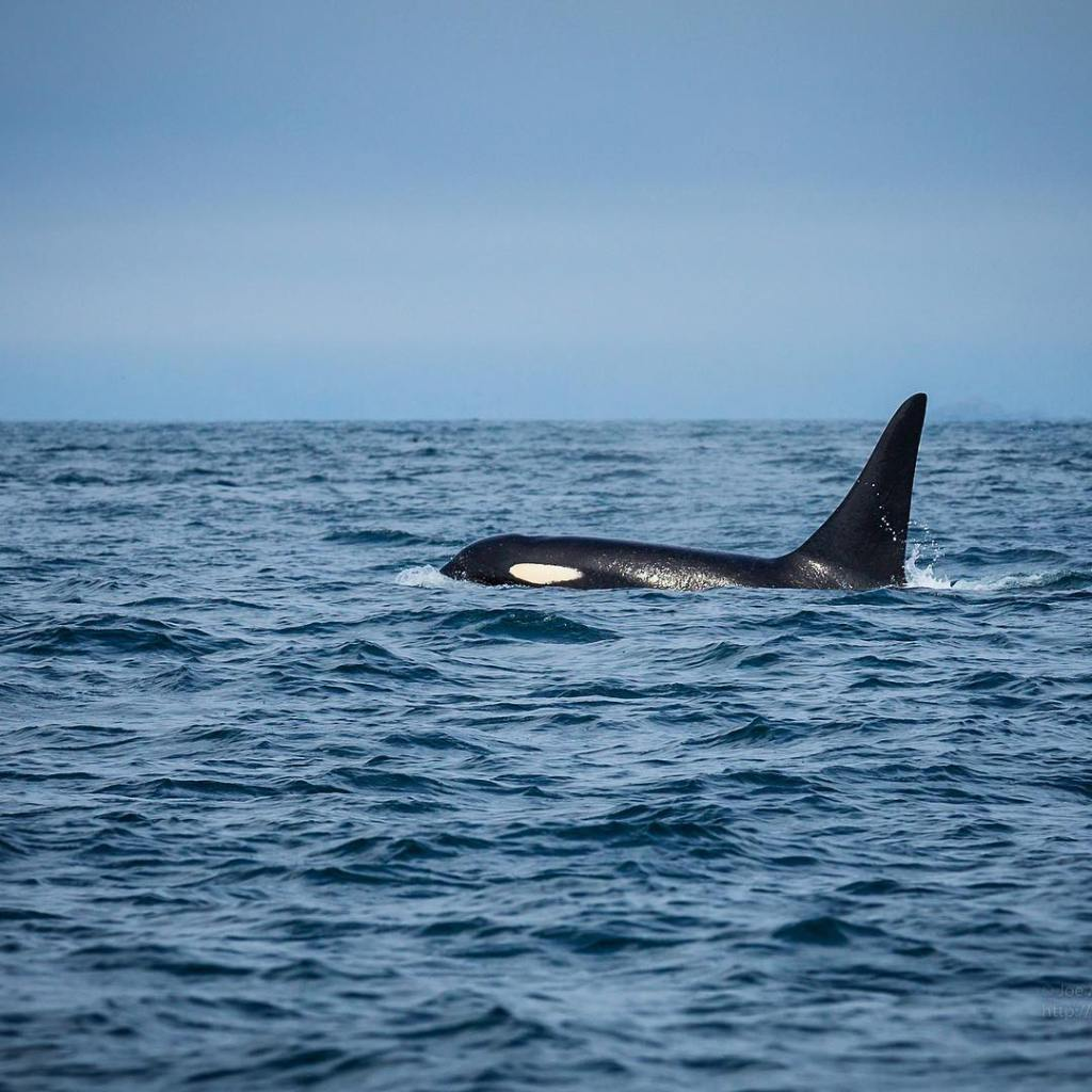Orca  There are not many things as aweinspiring ashellip