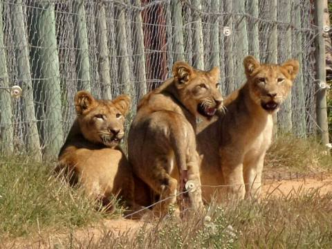 addo lion cubs