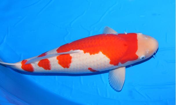 alimentation des poissons de bassin