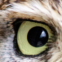 Little Owl eye - Stock Image Jan Brons