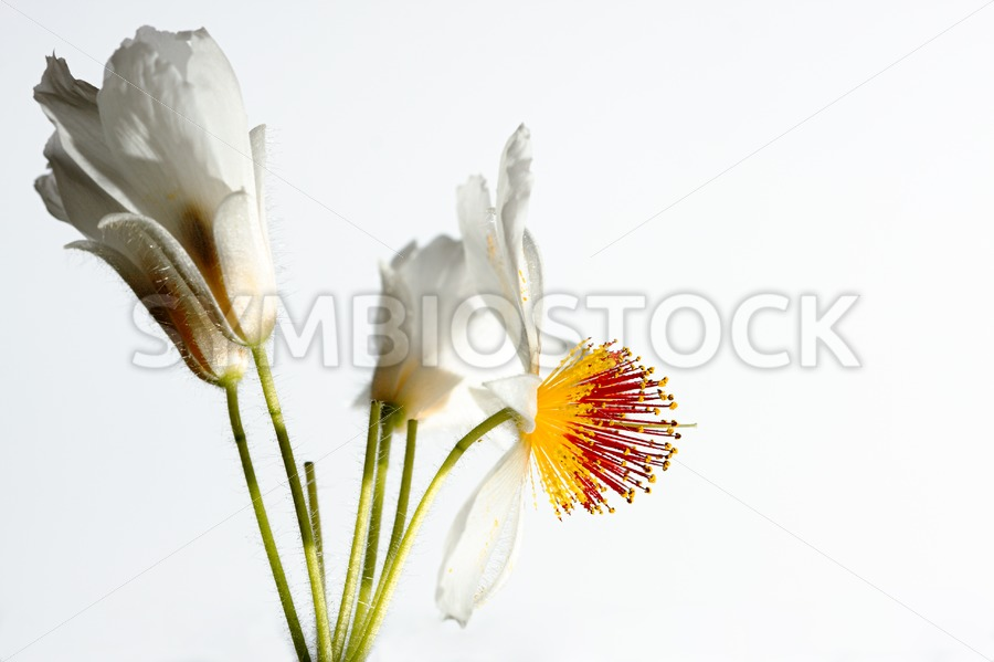 Sparmannia Africana plant - Jan Brons Stock Images