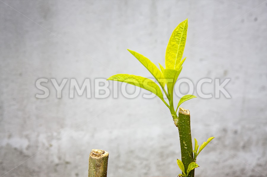 Brugmansia leave and branch