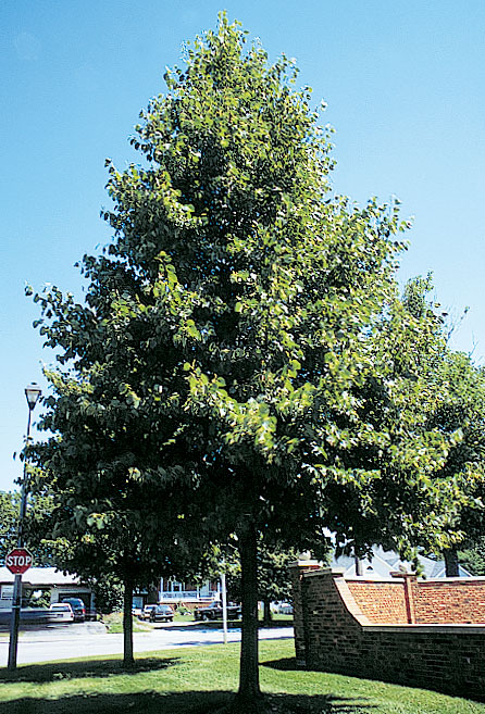 Image result for redmond linden tree