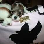 Coton puppies love JCLA Rescue me tote