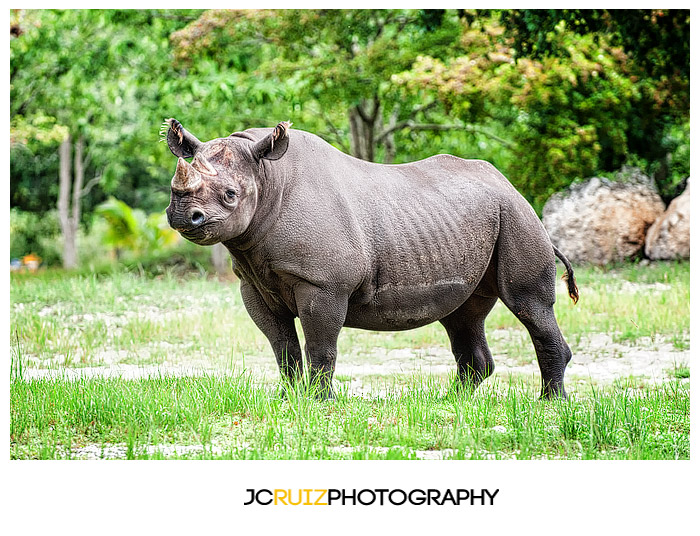 Zoo Miami Rhino