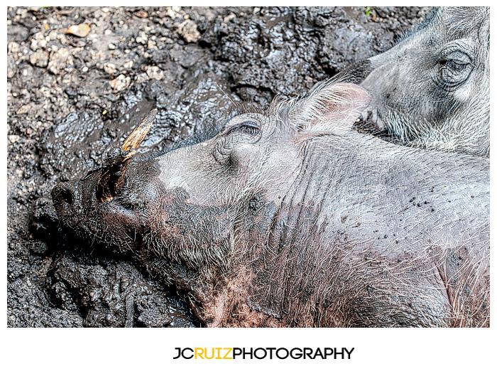Zoo Miami Warthogs