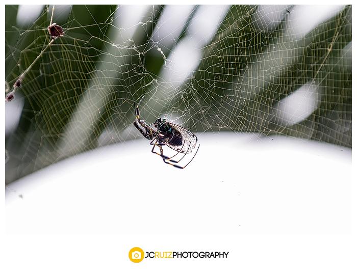 Costa Rica Golden Orb spider