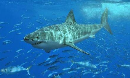 VIDEO – Deux pêcheurs se retrouvent face-à-face avec un requin blanc en Australie