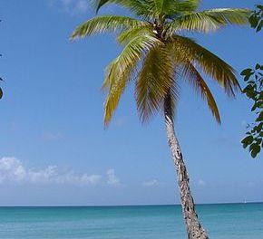 Une astuce pour grimper tout en haut d'un palmier!