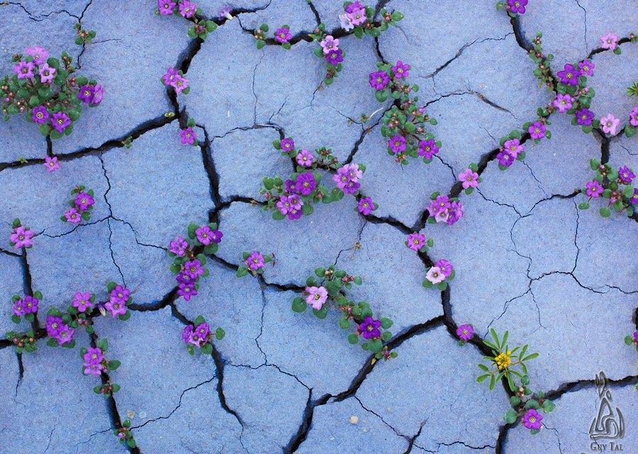 La beauté des fleurs qui survivent en plein milieu du désert aride des Badlands va vous émerveiller