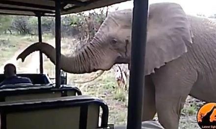 Impressionnante rencontre entre des touristes et un grand mâle éléphant en Afrique du Sud au Parc National Krueger.