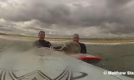 Deux surfeurs ont joué plus d'une heure avec un phoque!