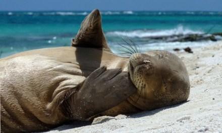 Les phoques d'Hawaï ne sont presque plus en voie de disparition!