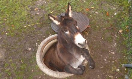 Un âne est tombé dans une bouche d'égout à Bâle, en Suisse. Les secours ont pu le sortir indemne de ce mauvais pas.