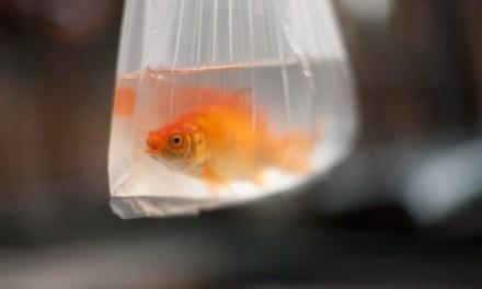 Wallonie: Vous ne pourrez bientôt plus gagner un poisson rouge au stand de tir ou à la pêche aux canards