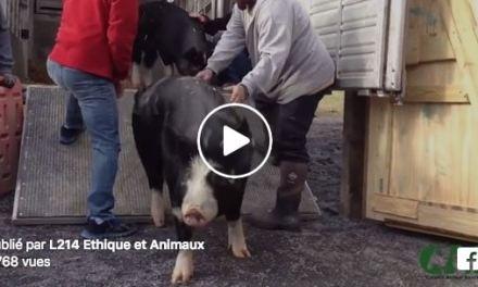 Premiers pas vers une autre vie pour ces animaux sauvés d'élevages.
