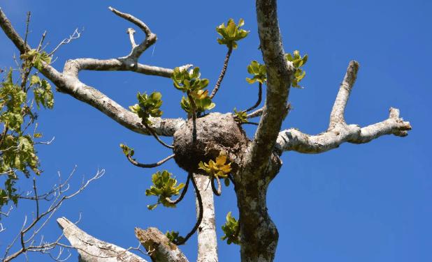 Les fourmis des Îles Fidji cultivent des plantes depuis des millions d'années