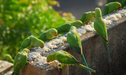 En Inde, «l'homme oiseau» nourrit 4000 perroquets par jour!
