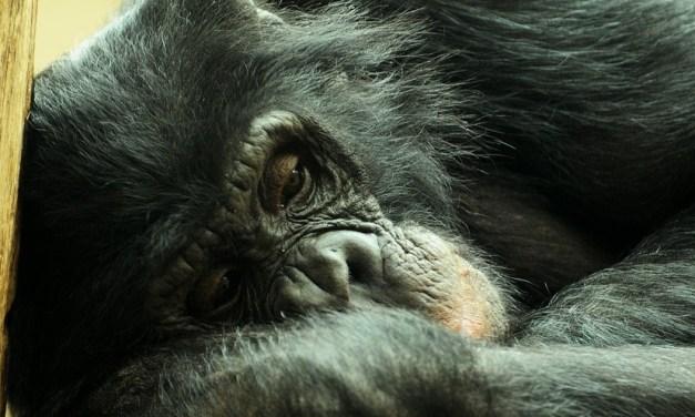 Cécilia : premier chimpanzé au monde libéré d'un zoo par la justice