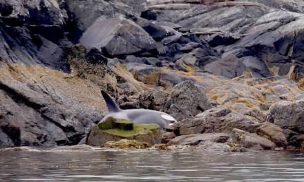 L'orque était bloquée dans les rochers et pleurait  – Regardez les héros de ce sauvetage incroyable
