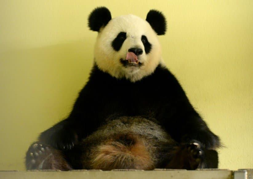 Brigitte Macron très heureuse d'être la marraine du premier bébé panda né en France, au zoo de Beauval (Loir-et-Cher).