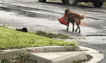 Tempête Harvey: Un chien s'enfuit en emportant ses croquettes et devient le héros du jour