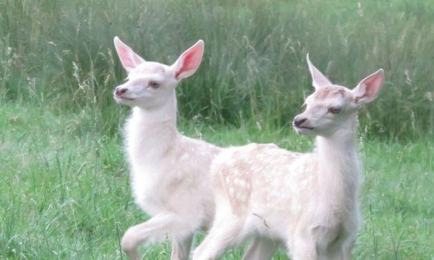 Naissance de jumeaux faons blancs
